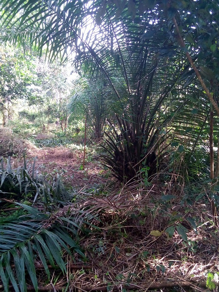 F Kourouma, Plantation de palmier