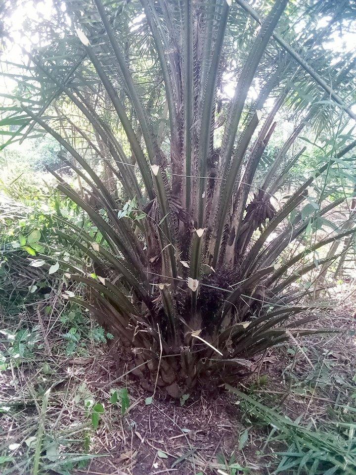 F Kourouma, Plantation de palmier 2